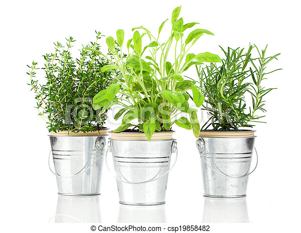 Sage, thyme and rosemary herb plant growing in a distressed pewter pot, isolated over white background. Salvia. - csp19858482