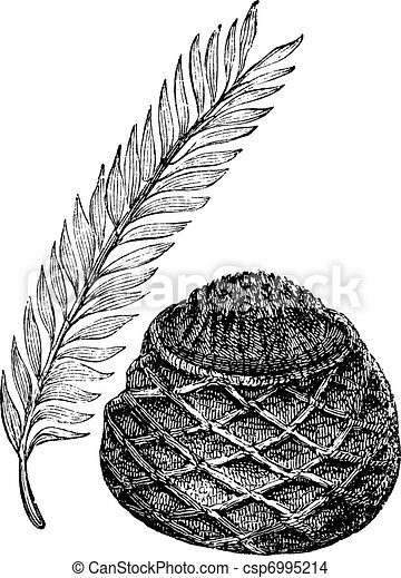 Sago Palm or King Sago Palm or Cycas revoluta, vintage engraving. Old engraved illustration of a Sago Palm showing leaves (left) and female cone (right). - csp6995214