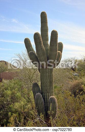 Saguaro Cactus Desert Botanical Garden Phoenix Arizona - csp7022780
