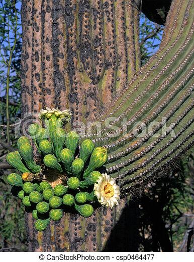 Saguaro Cactus Flower1 - csp0464477