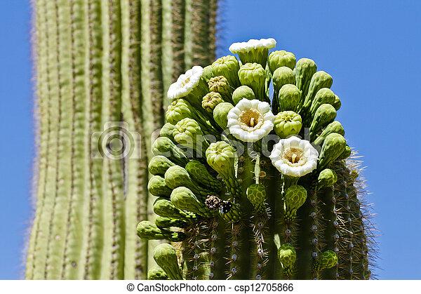 Saguaro Cactus in Bloom - csp12705866