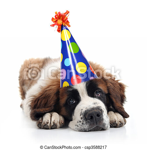 Saint Bernard Wearing a Polka Dot Birthday Hat - csp3588217