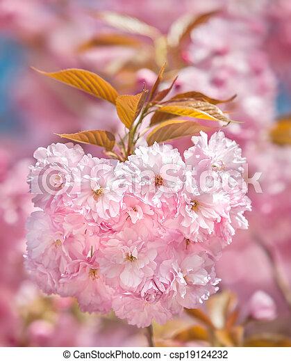 Sakura Blossomed Japanese Cherry Trees Sakura Delicate Pink