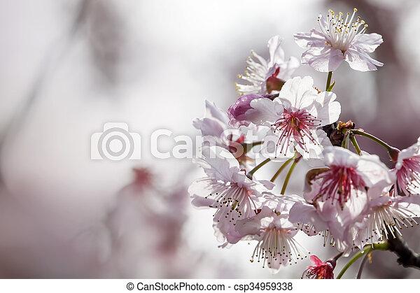 Sakura. Cherry Blossom in Spring season. Beautiful Pink Flowers - csp34959338
