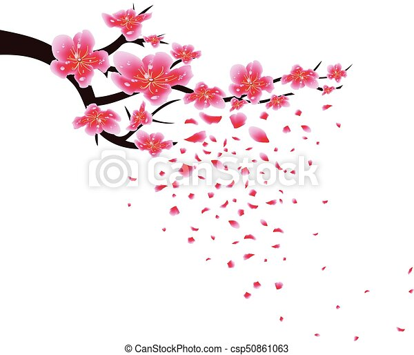 sakura flowers background cherry blossom isolated white background chinese new year csp50861063