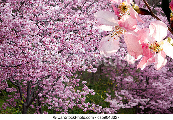 Sakura pink flower on mountain - csp9048827