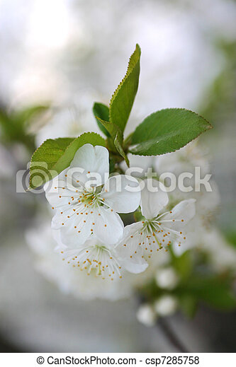 sakura spring blossoms - csp7285758