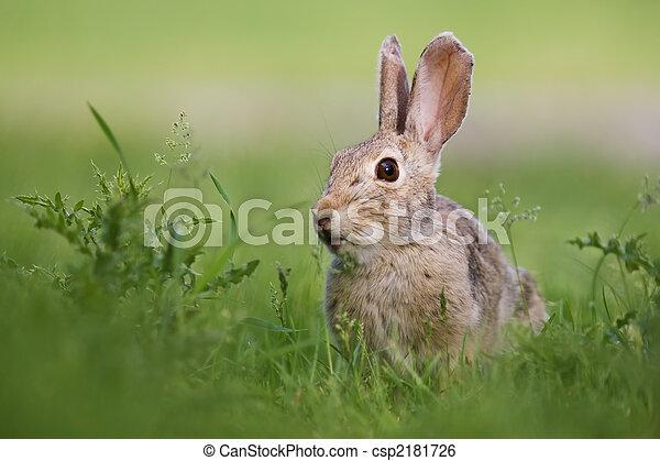Conejo salvaje - csp2181726