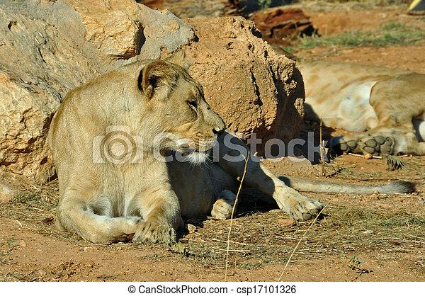 salvaje, leona, animal - csp17101326