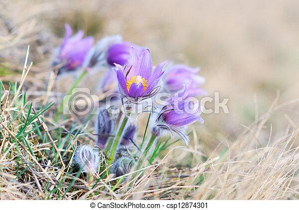 Pasque flor silvestre en primavera - csp12874301