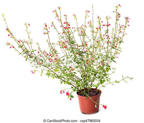 Salvia grahamii labios calientes - csp47960034