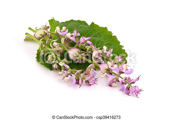 Salvia sclarea, clary, or clary sage - csp39416273
