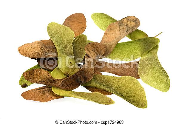 Geliebte Samen, baum, ahorn. Brauner, baum, samen, grüner hintergrund &ZS_35