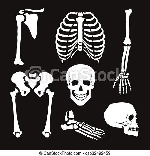 Sammlung, menschliches skelett. Satz, skelett, abbildung, vektor ...
