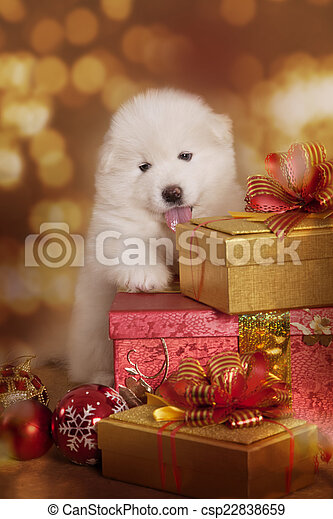 Samoyed puppy dog with Christmas gifts - csp22838659