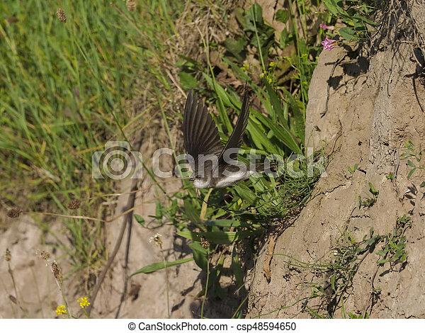 Sand martin, Riparia riparia - csp48594650