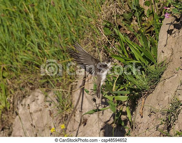 Sand martin, Riparia riparia - csp48594652