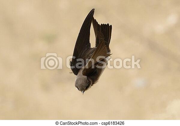 Sand Martin, swallow in flight - csp6183426