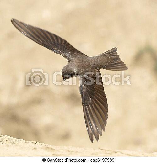 Sand Martin, swallow in flight - csp6197989