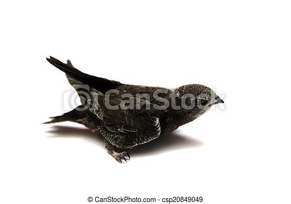 Sand Martin swallow on white - csp20849049