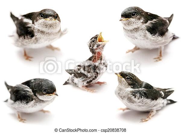 Sand Martin swallow on white - csp20838708