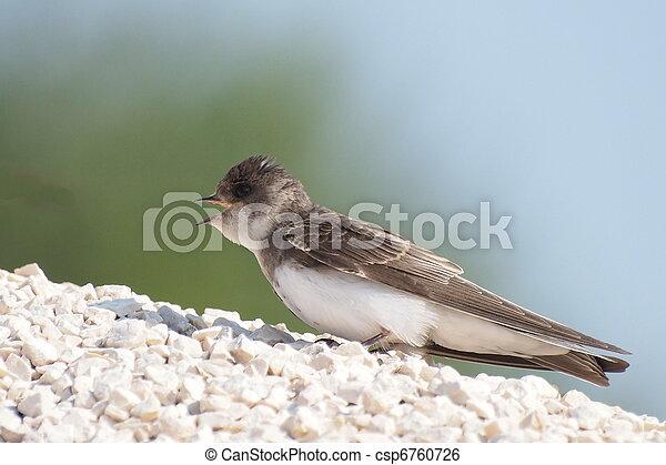 Sand Martin, swallow, riparia ripar - csp6760726