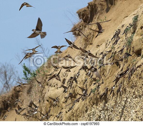 Sand Martin, swallow, riparia ripar - csp6197993