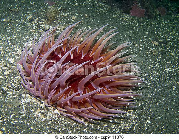Sand-Rose Anemone - csp9111076