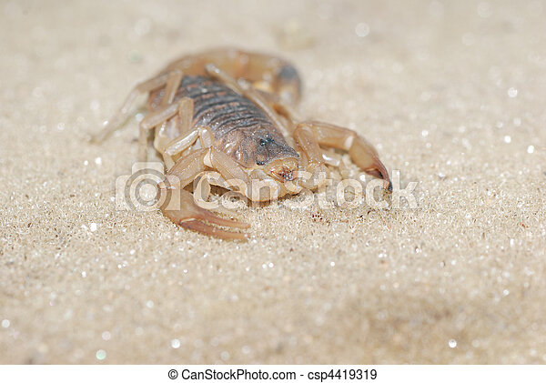 sandskorpion