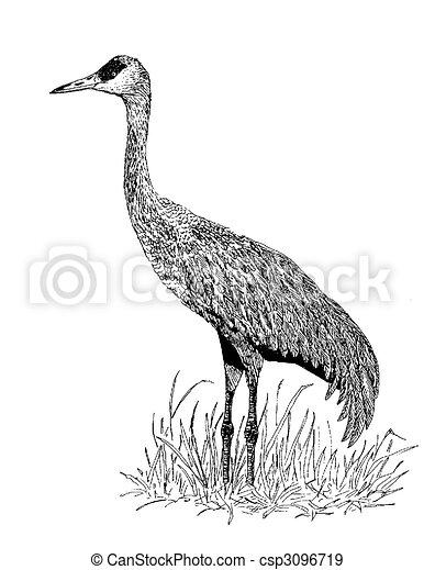 Sandhill crane - grus canadensis.  Sandhill crane ...