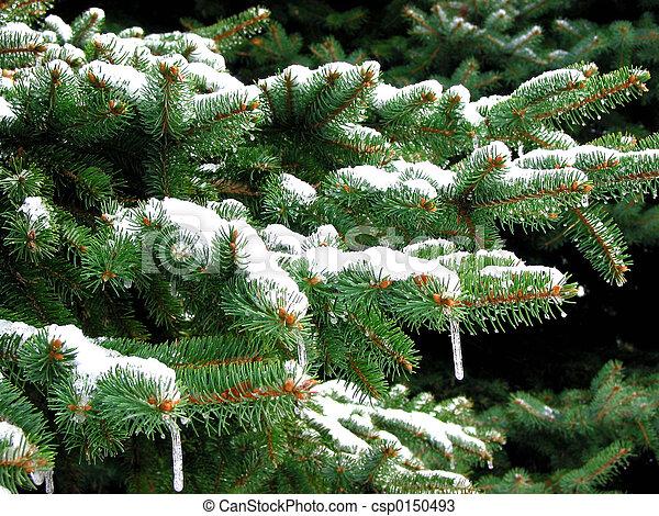 sapin, hiver - csp0150493