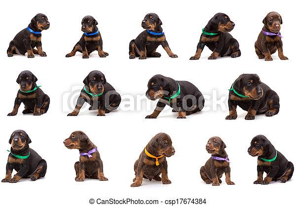 satz, dobermann, hund, farbig, abfall, hundebabys, bänder - csp17674384