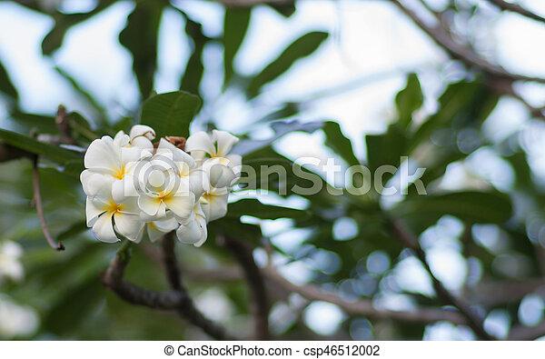 Satz, frangipani, baum, auf, gelber , bokeh, thailand., plumeria ...