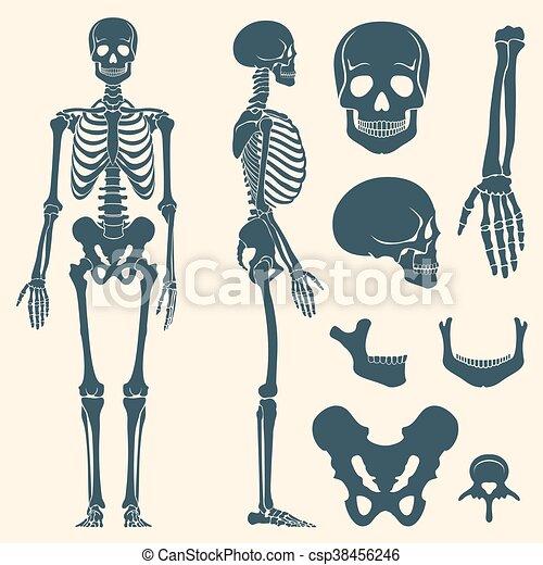 Satz, silhouette, skelett, vektor, menschliche , knochen. Satz ...