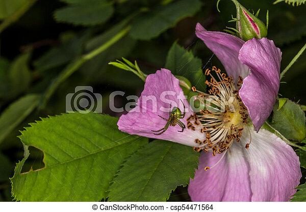 sauvage, toile, araignée fleur, rose - csp54471564