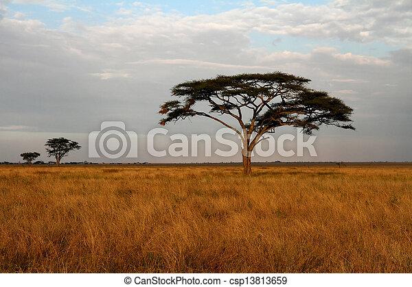 savannah, akacja, drzewa, afrykanin - csp13813659