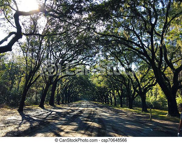 Savannah, Georgia, USA Oak tree lined road, arc shape at Historical Wormsloe Plantation - csp70648566