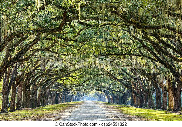 savannah, usa, georginia, dąb, plantation., drzewo, historyczny, wormsloe, liniowany, droga - csp24531322