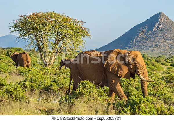 savanne, drie, samburu, olifanten - csp65303721