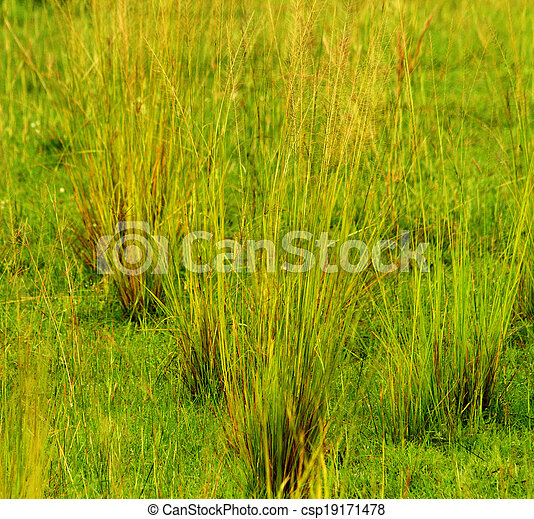 Savanne Enden Gras Saen