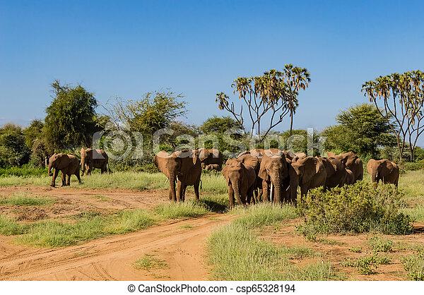 savanne, kudde, olifanten - csp65328194