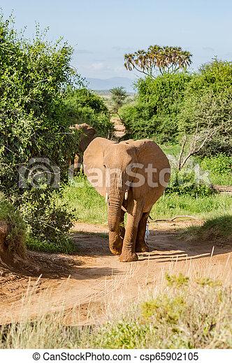 savanne, oud, samburu, elefant - csp65902105