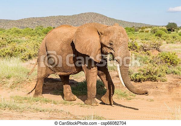savanne, oud, samburu, elefant - csp66082704