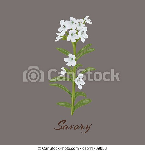 Savory. known as Satureja montana. Flowers and leaves. - csp41709858