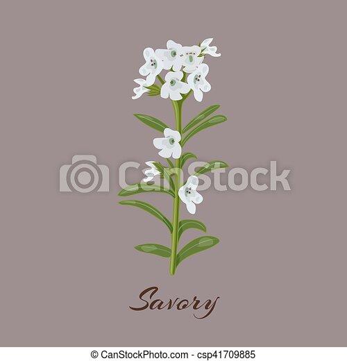 Savory. Satureja montana. Flowers and leaves. - csp41709885