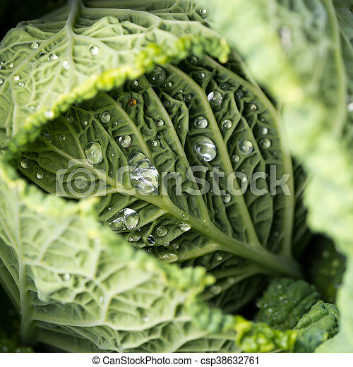 Savoy Cabbage Leaves With Watter Drops Closeup Of Savoy Cabbage Leaves With Watter Drops In A Garden Canstock