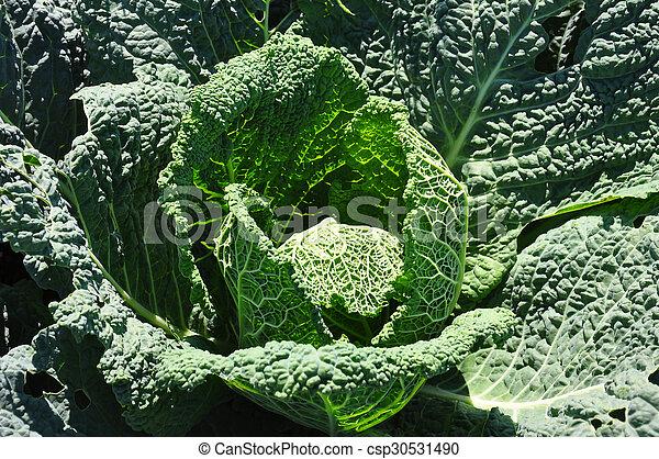 Savoy cabbage - csp30531490