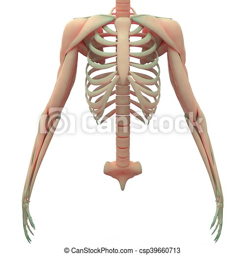 3d Illustration Of Scapula With Ribs Anatomy Clipart Search