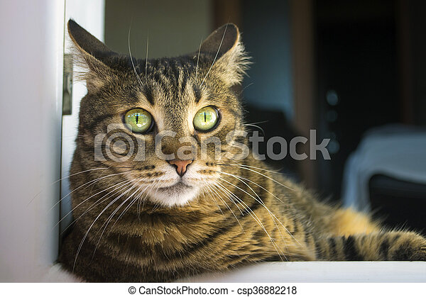 scared tabby cat - csp36882218