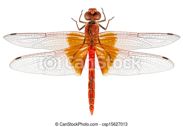 scarlet, libélula, espécie, erythraea, crocothemis - csp15627013
